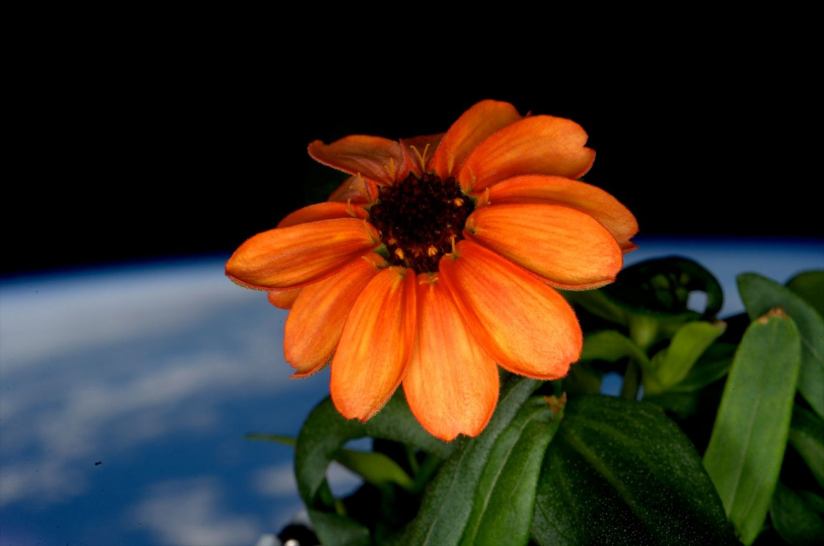 One of the orange zinnia flowers grown aboard the International Space Station
