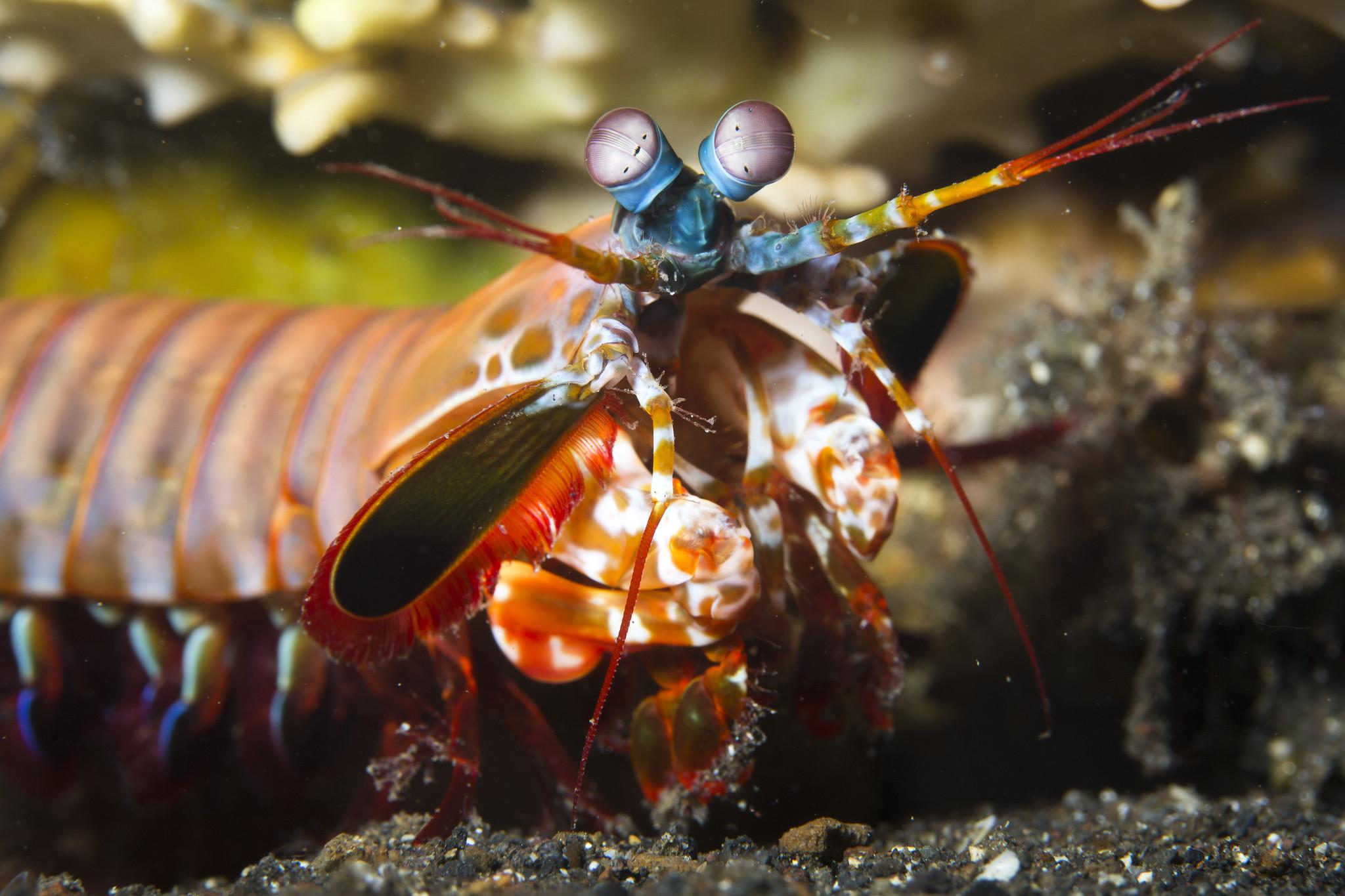 A Mantis Shrimp Close Up